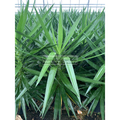 Yucca Xlarge 300Mm Pot Pot Standards Plants