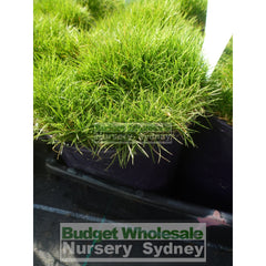 Zoysia Tenuifolia No Mow Grass (Korean Velvet Grass) 140Mm Gift Card
