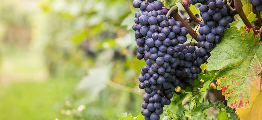 grape varieties allowed in burgundy wine