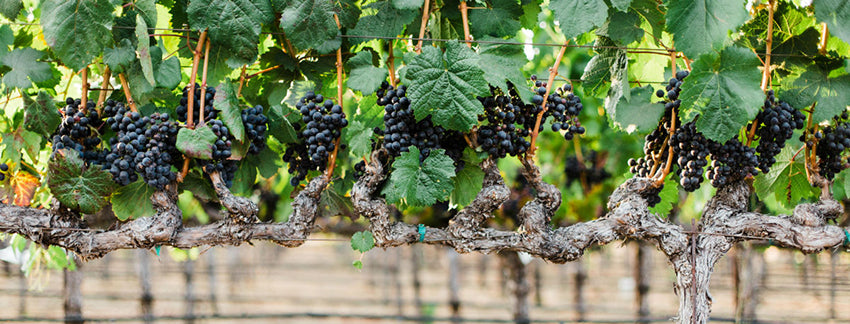grape varieties in Napa Valley
