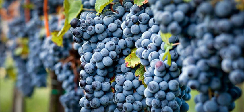 sangiovese grosso is the special brunello grape variety