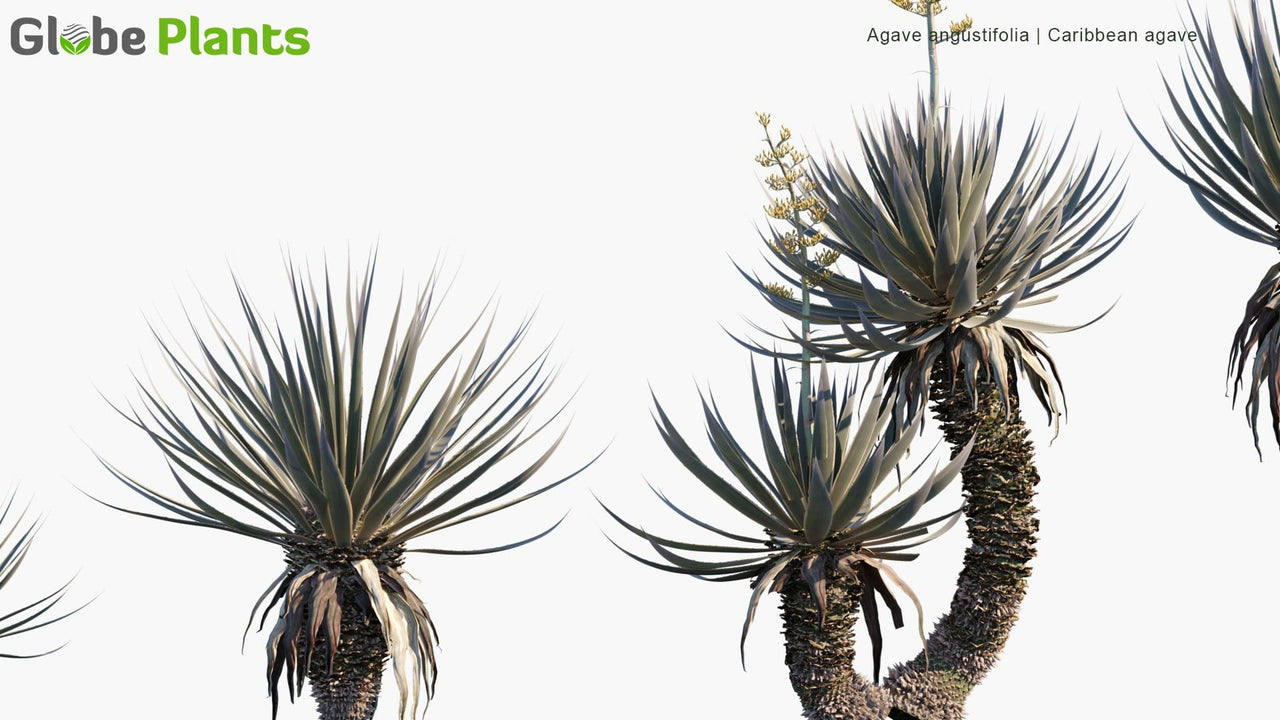 Agave Angustifolia - Caribbean Agave