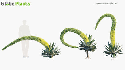 Agave Attenuata - Foxtail
