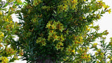 Load image into Gallery viewer, Allamanda Schottii 'Compacta' - Golden Trumpet Shrub