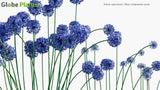 Load image into Gallery viewer, Allium Caeruleum - Blue Ornamental Onion