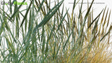 Load image into Gallery viewer, Ammophila Breviligulata - American Beachgrass, American Marram Grass (3D Model)