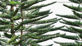 Load image into Gallery viewer, Araucaria Heterophylla - Norfolk Island Pine, Star Pine, Polynesian Pine, Triangle Tree, Living Christmas Tree (3D Model)