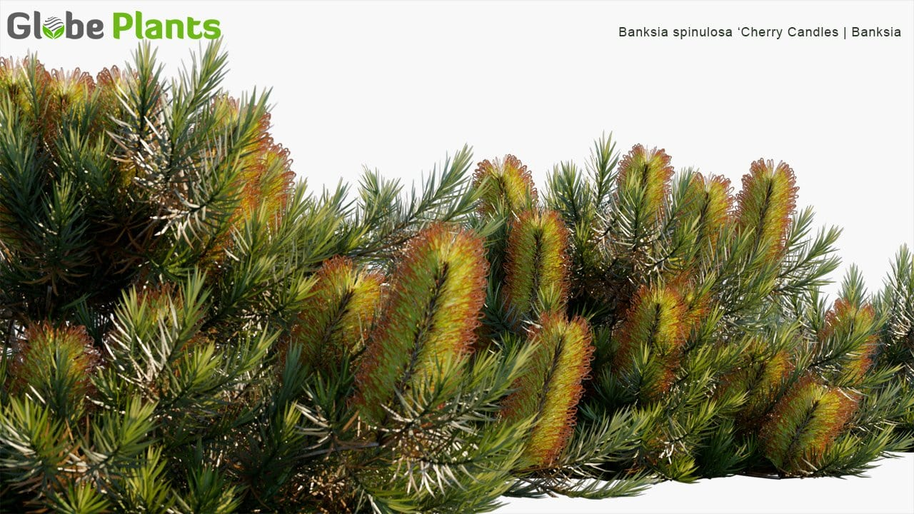 Banksia Spinulosa 'Cherry Candles' - Banksia