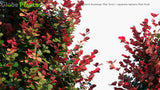 Load image into Gallery viewer, Berberis Thunbergii 'Red Torch' - Japanese Barberry Red Torch
