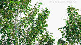 Load image into Gallery viewer, Betula Utilis 'Jacquemontii' - Himalayan Birch