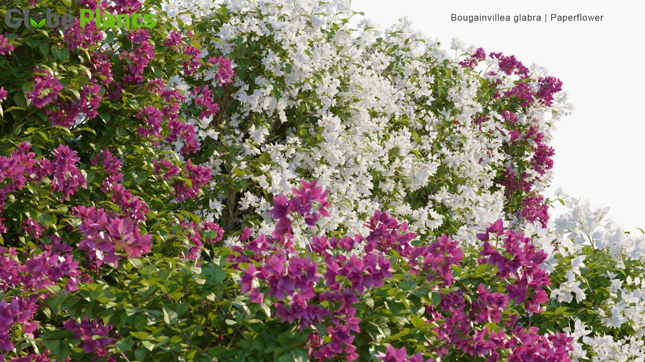 Bougainvillea Glabra - Lesser Bougainvillea, Paperflower | Hedge
