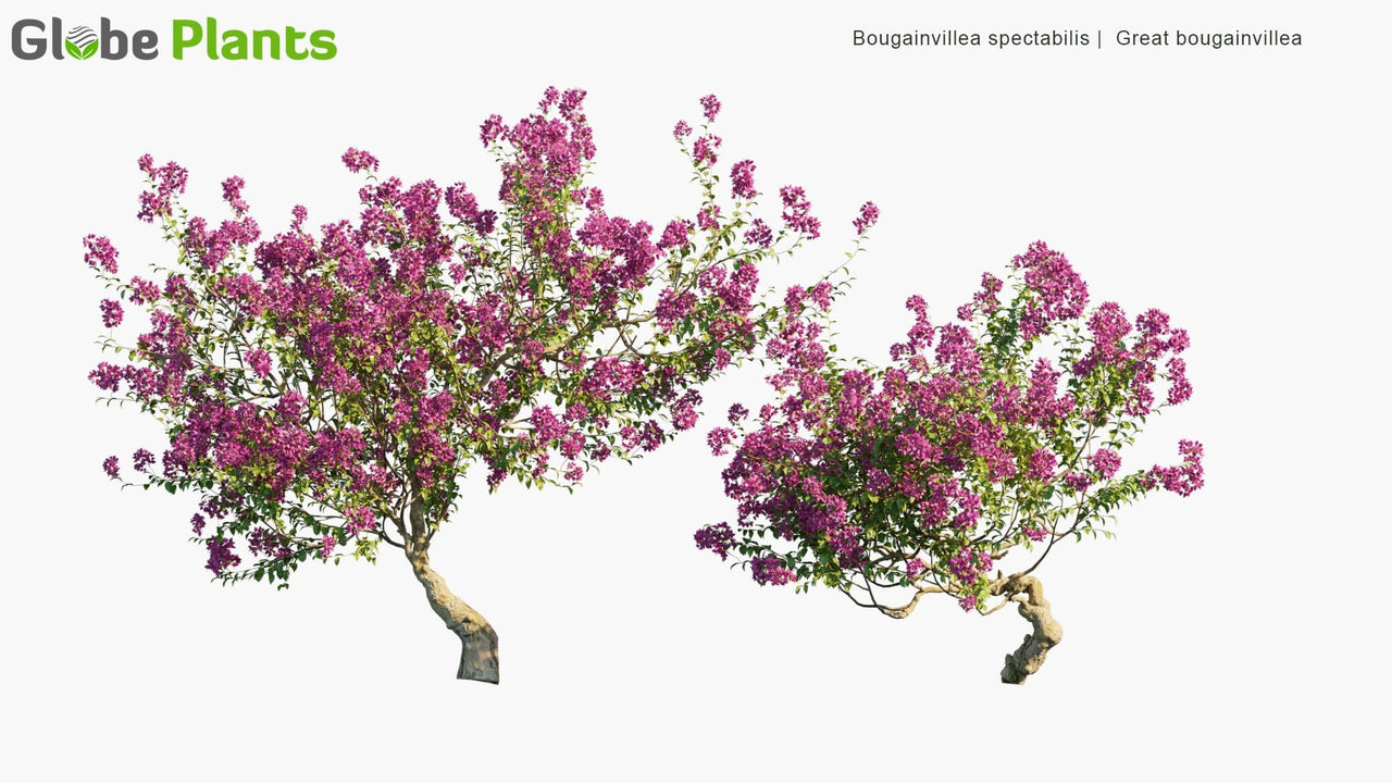 Bougainvillea Spectabilis - Great Bougainvillea
