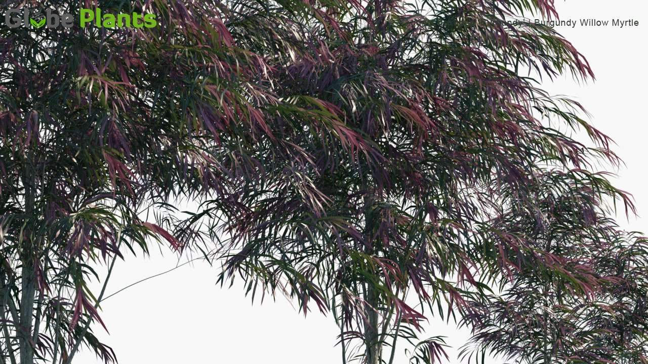 Agonis Flexuosa 'Burgundy' - Burgundy Willow Myrtle