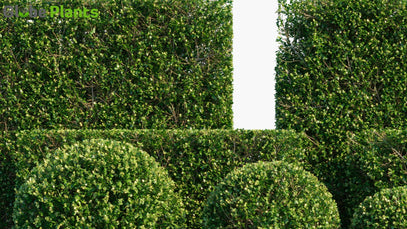 Buxus Sempervirens - Common Box, European Box, Boxwood | Hedge