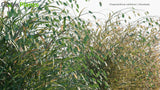 Load image into Gallery viewer, Chasmanthium Latifolium - Woodoats, Inland Sea Oats, Northern Sea Oats, River Oats (3D Model)
