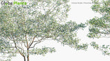 Load image into Gallery viewer, Cornus Florida - Flowering White Dogwood (3D Model)