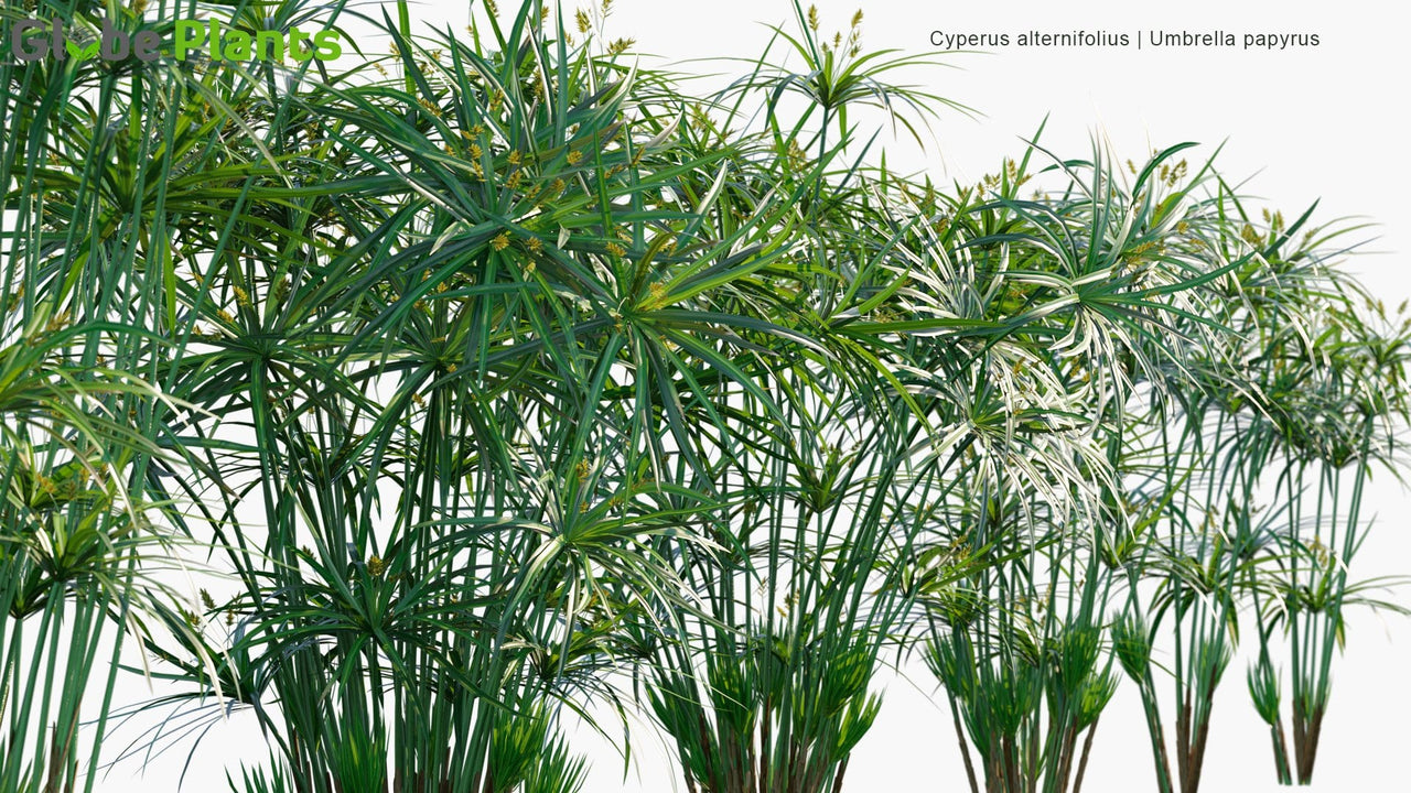 Cyperus Alternifolius - Umbrella Papyrus, Umbrella Sedge, Umbrella Palm