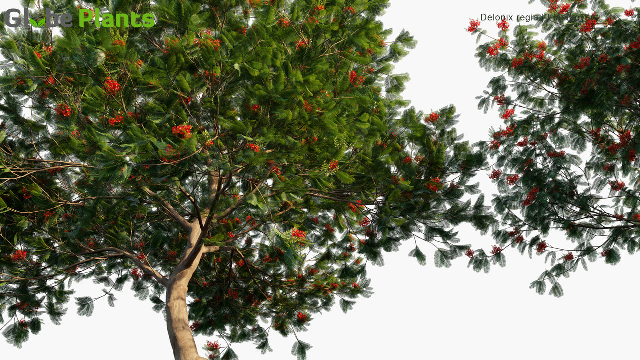 Delonix Regia - Royal Poinciana, Flamboyant, Flame of The Forest, Flame Tree