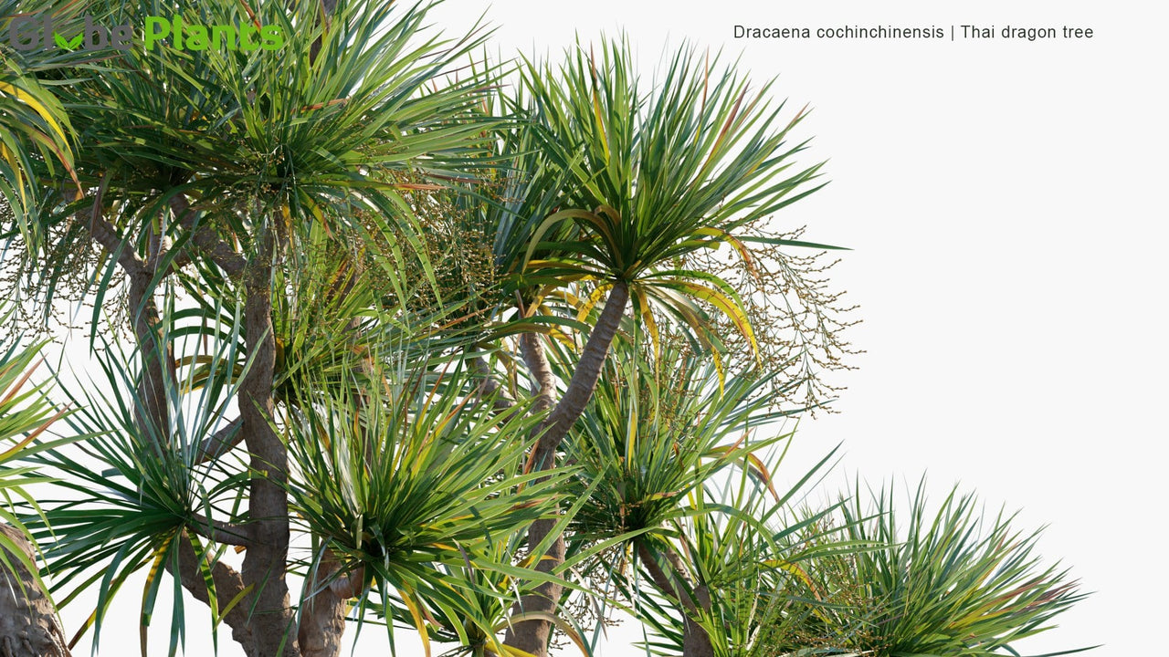 Dracaena Cochinchinensis - Thai Dragon Tree