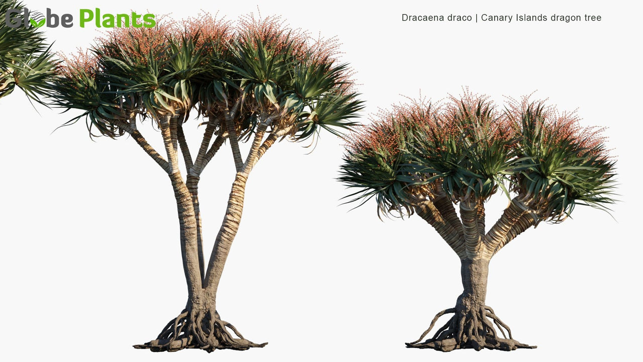 Dracaena Draco - Canary Islands Dragon Tree