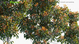 Load image into Gallery viewer, Elaeocarpus Eumundi - Eumundi Quandong, Smooth Leafed Quandong