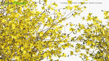 Load image into Gallery viewer, Forsythia x Intermedia 'Golden Bells' - Border Forsythia, Golden Bell