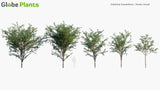 Load image into Gallery viewer, Gleditsia Triacanthos - Honey Locust