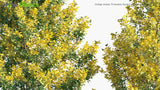 Load image into Gallery viewer, Ginkgo Biloba 'Princeton Sentry' - Maidenhair Tree