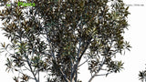 Load image into Gallery viewer, Grevillea Baileyana - White Oak