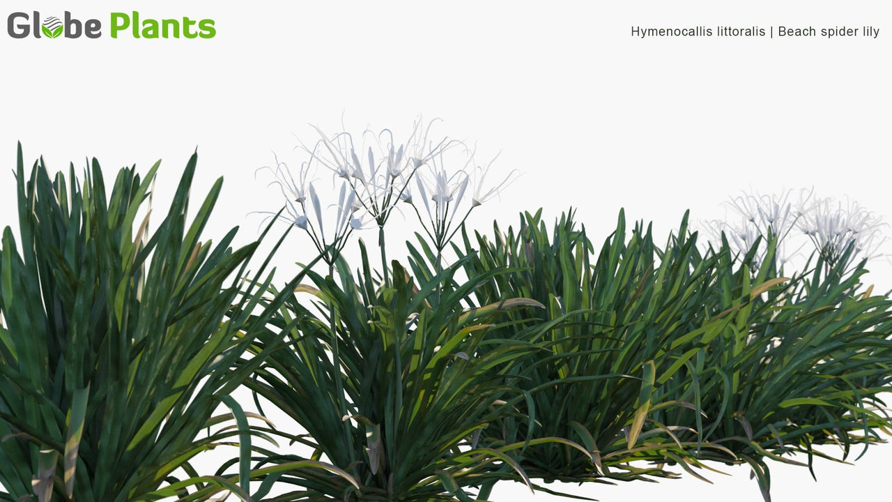 Hymenocallis Littoralis - Beach Spider Lily