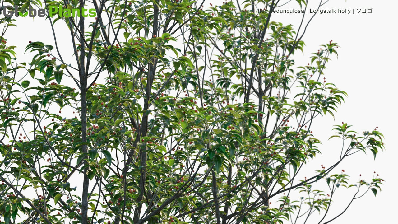Ilex Pedunculosa - ‎Longstalk Holly, ソヨゴ