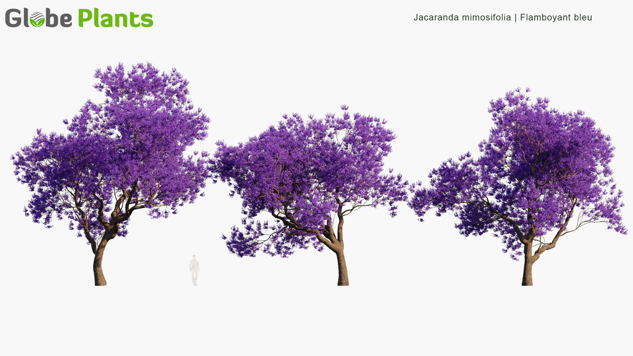 Jacaranda Mimosifolia - Flamboyant Bleu, Black Poui, The Fern Tree