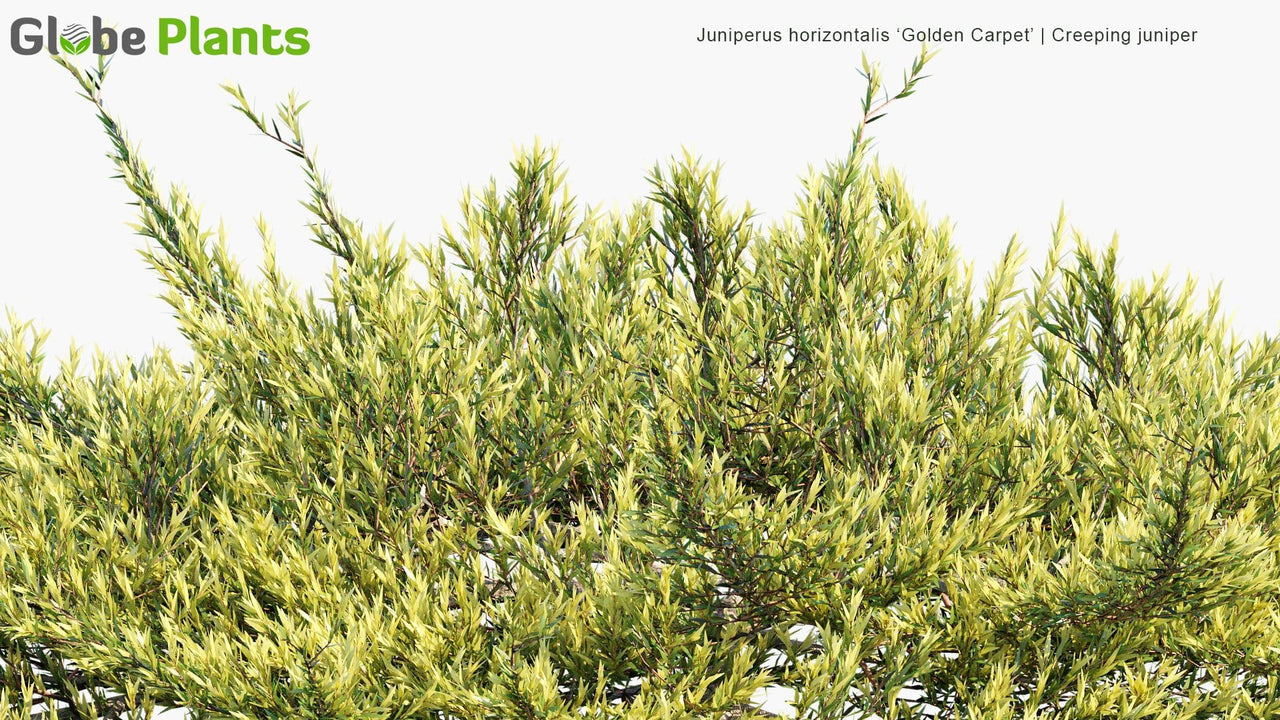 Juniperus Horizontalis 'Golden Carpet' - Creeping Juniper