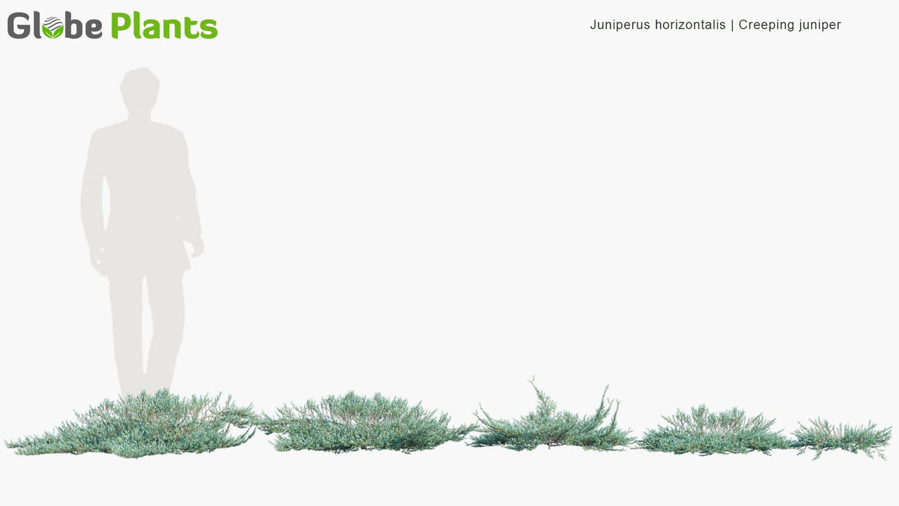 Juniperus Horizontalis - Creeping Juniper