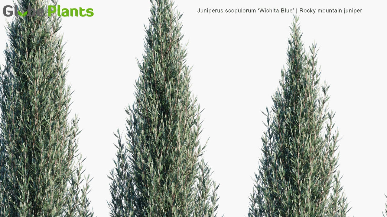 Juniperus Scopulorum 'Wichita Blue' - Rocky Mountain Juniper
