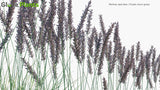 Load image into Gallery viewer, Molinia Caerulea - Purple Moor-Grass