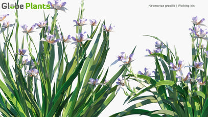 Neomarica Gracilis - Walking Iris