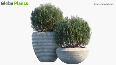 Ornamental Pot Plant 04 - Rosemary