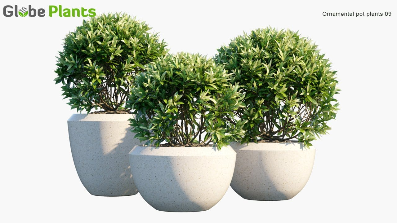 Ornamental Pot Plant 09 - Laurus Nobilis
