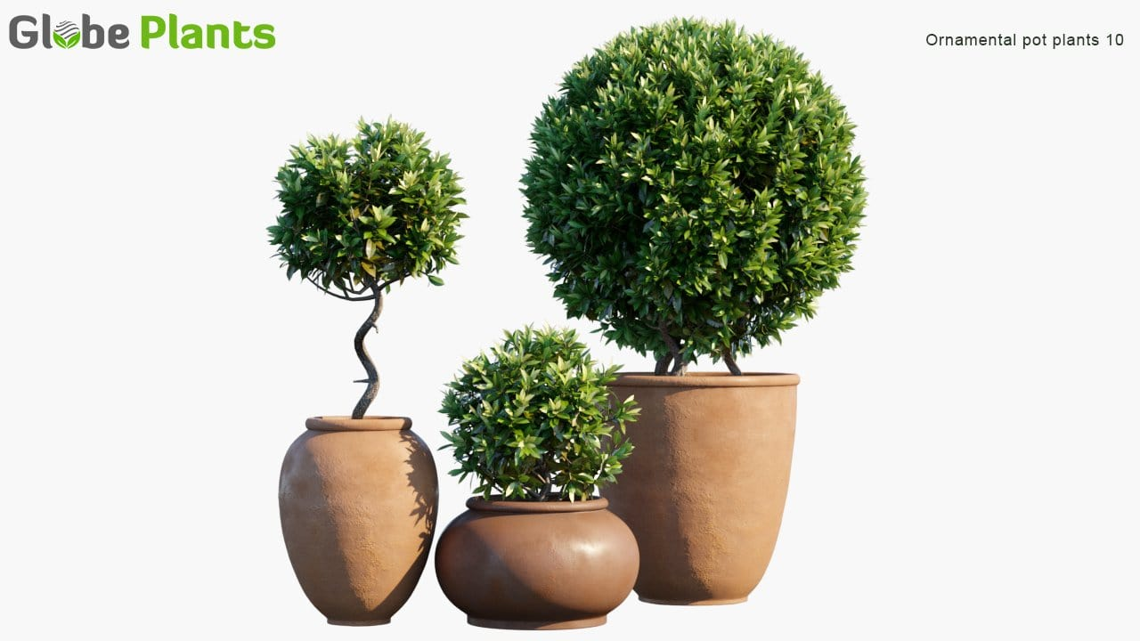 Ornamental Pot Plant 10 - Laurus Nobilis