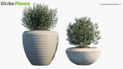 Ornamental Pot Plant 17 - Rosemary