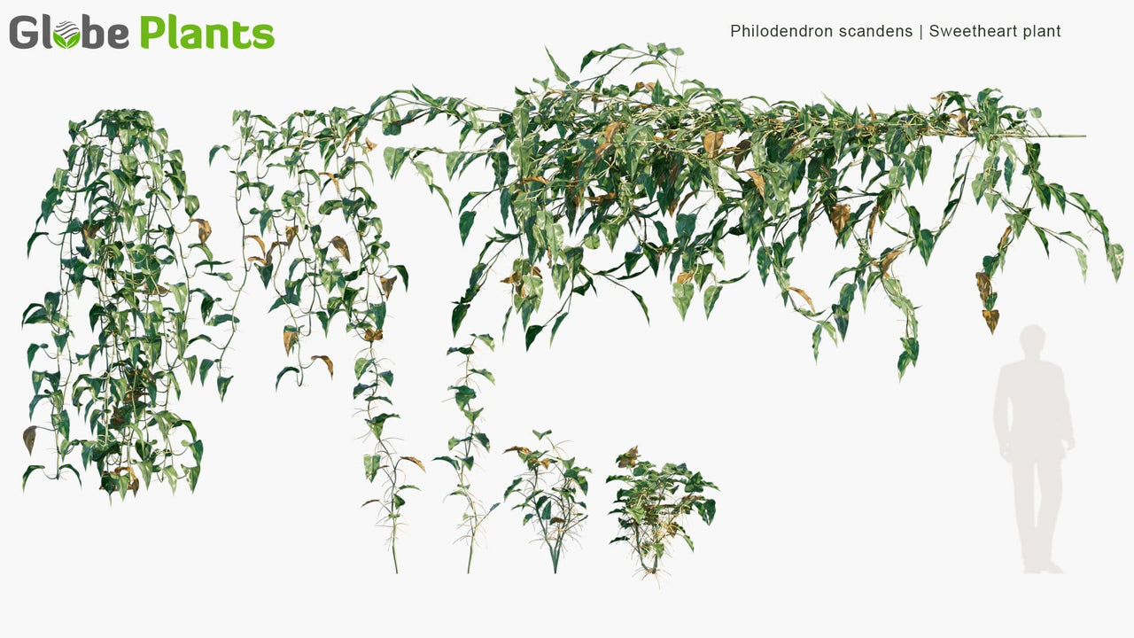 Philodendron Scandens - Sweetheart