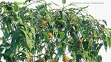 Load image into Gallery viewer, Philodendron Scandens - Sweetheart