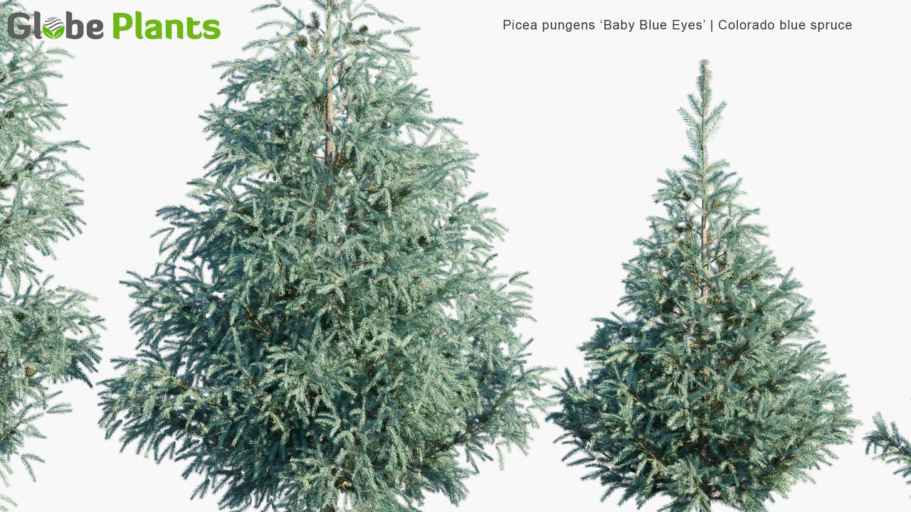 Picea Pungens 'Baby Blue Eyes' - Colorado Blue Spruce