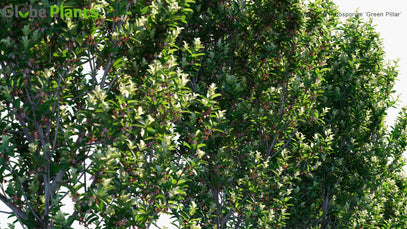 Pittosporum Tenuifolium - Pittosporum 'Green Pillar'