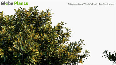 Pittosporum Tobira 'Wheeler's Dwarf' - Dwarf Mock Orange