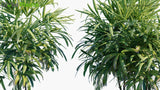 Load image into Gallery viewer, Rhapis Excelsa - Bamboo Palm
