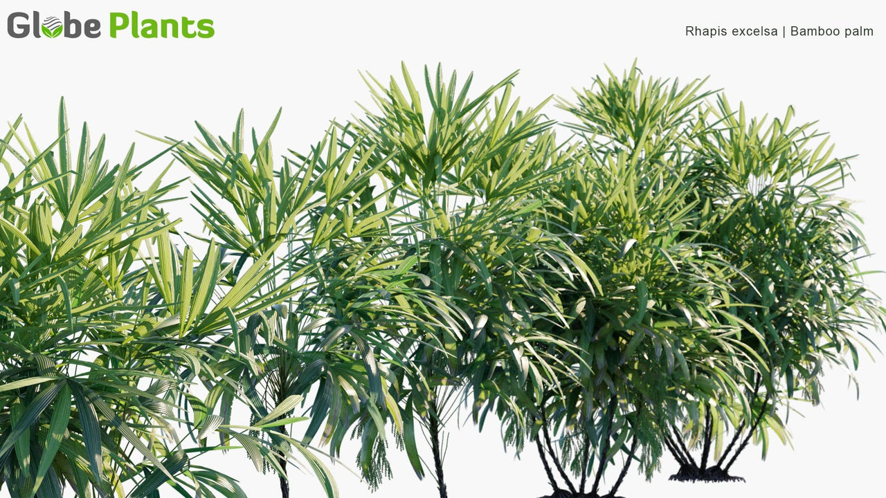 Rhapis Excelsa - Bamboo Palm
