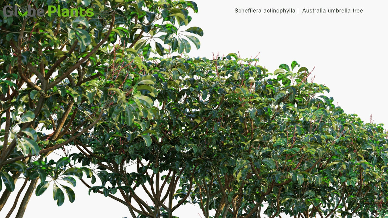 Schefflera Actinophylla - Australia Umbrella Tree, Queensland Umbrella Tree, Octopus Tree, Amate