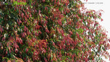 Load image into Gallery viewer, Syzygium 'Cascade' - Lilly Pilly | Hedge